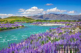 Mountain landscape with lupine meadow at Ahuriri River - Oceania, New Zealand, South Island, Otago, Waitaki, Ahuriri River, O...