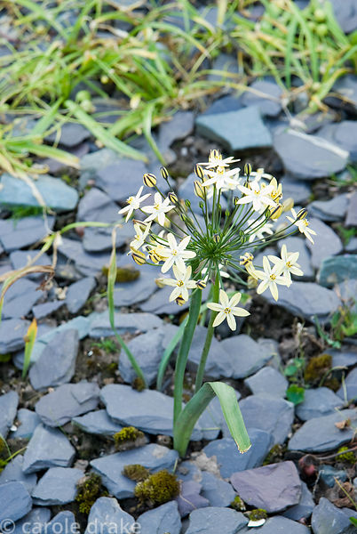 Triteleia ixioides 'Starlight'. Ivy Croft, Leominster, Herefordshire, UK