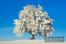 Lime tree snow covered (lat. tilia) - Europe, Germany, Bavaria, Upper Bavaria, Miesbach, Irschenberg - digital