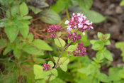 Marjoram flowers close-up