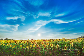 Sunflower field  (lat. helianthus annuus) - Europe, France, Provence-Alpes-Cote d'Azur, Alpes de Haute Provence, Forcalquier,...