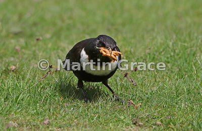 Ring Ouzel (Turdus torquatus) male with a large number of Mealworms (Tenebrio molitor) in his bill, Glen Tanar, Royal Deeside...