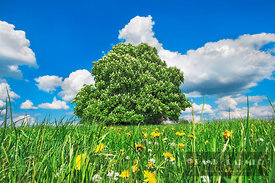 Horse chestnut on dandelion meadow (lat. aesculus hippocastanum) - Europe, Germany, Bavaria, Upper Bavaria, Weilheim-Schongau...