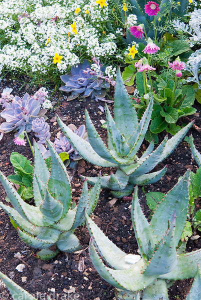 Exotic bedding in the Victorian garden includes succulents such as Aloe ferox mixed with softer plants such as white alyssum,...