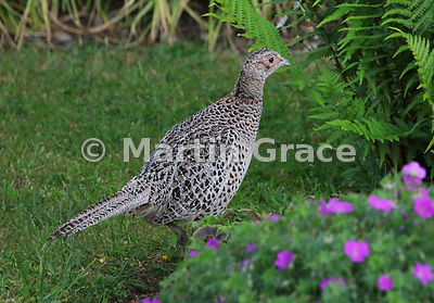 Common Pheasant female (Phasianus colchicus) in a garden, Lake District National Park, Cumbria, England