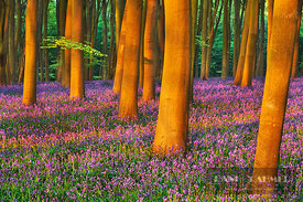Beech forest with bluebells (lat. fagus sylvatica) - Europe, United Kingdom, England, Hampshire, Winchester, Micheldever - di...