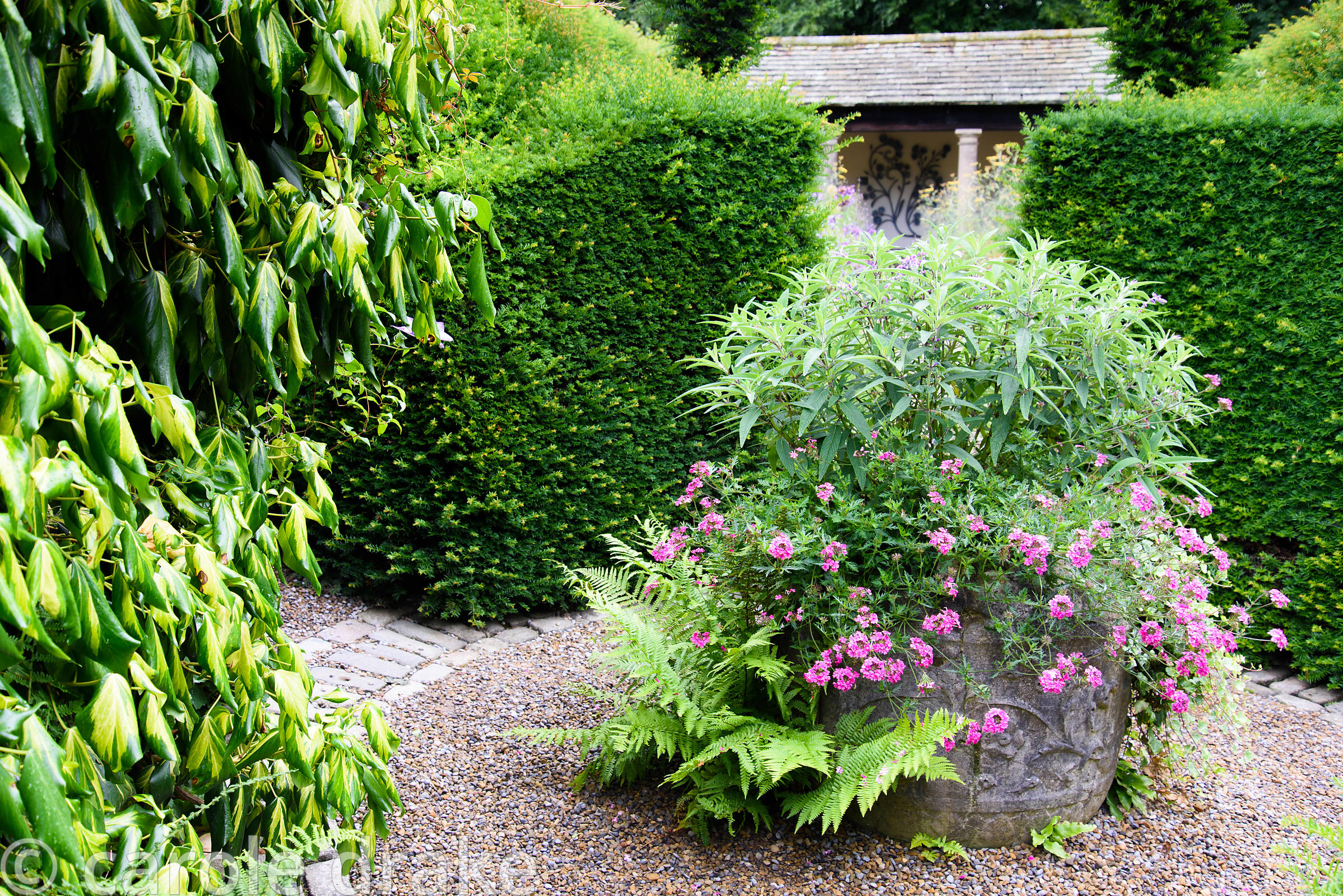 Container planted with Salvia leucantha and pink verbenas with self sown ferns growing in gravel below and framed by yew hedg...