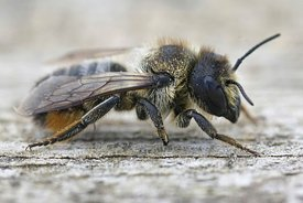 Close up of a female leafcutter bee, Megachile lapponica on wood