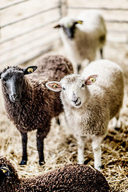 Danish sheep 6