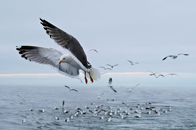 pictures of seabirds in brittany france