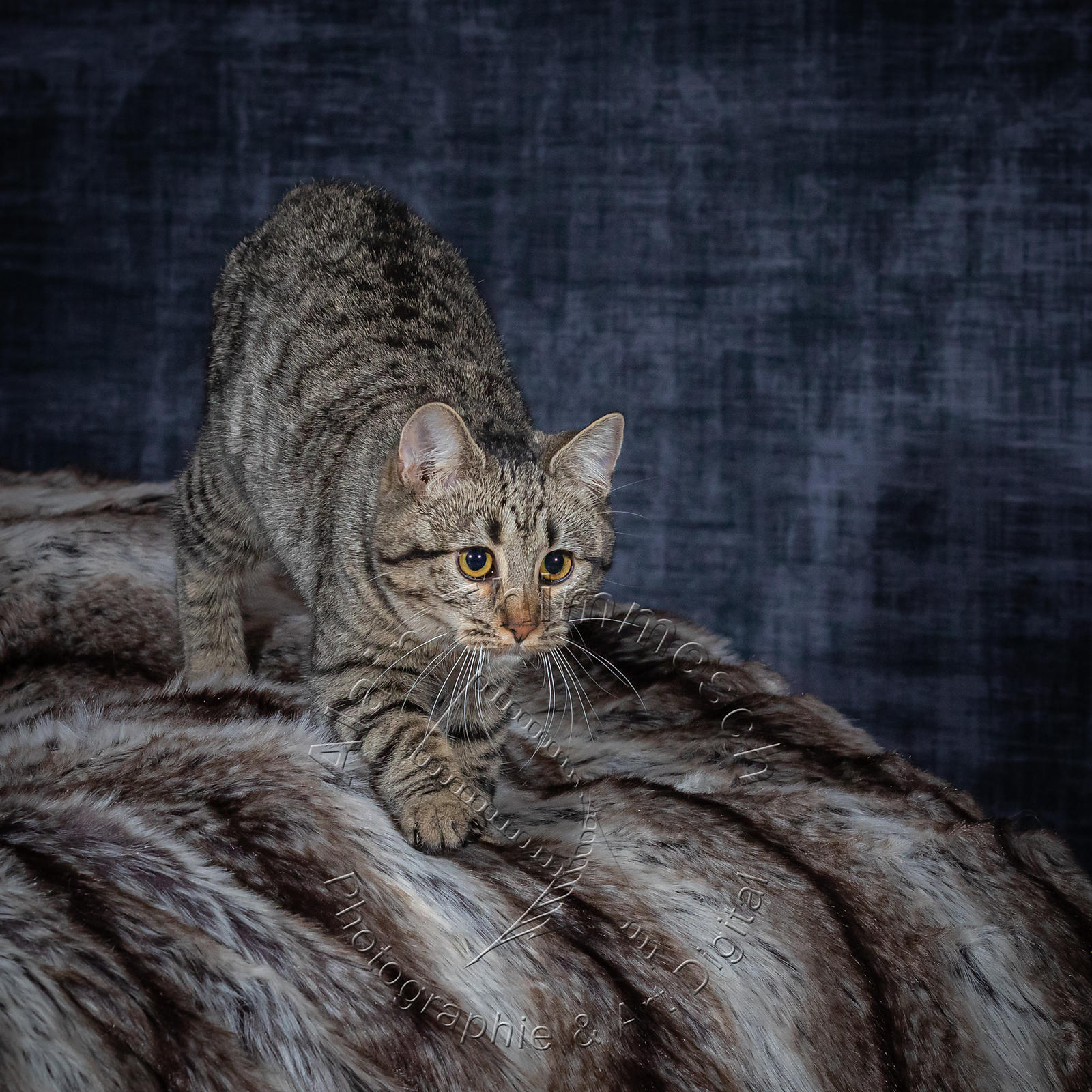 Photographie-Alain-Thimmesch-Chat-1089
