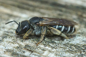 Halictus species, female