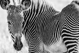 Zebra: Kenya 2019: Photographer: Neil Emmerson: £975 including UK VAT.