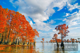 Bald cypress forest in autumn colors (lat. taxodium distichum) - North America, USA, Louisiana, Caddo, Caddo Lake, Ferry Lake...