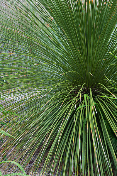 Grass tree, Xanthorrhoea glauca