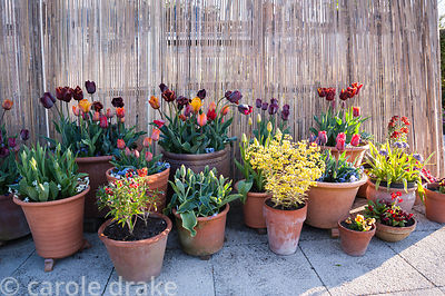 Colourful grouping of pots planted with tulips in a range of oranges, reds and purples including Tulipa 'Abu Hassan' and T. '...