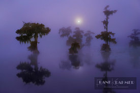 Bald cypress forest with full moon in fog (lat. taxodium distichum) - North America, USA, Louisiana, St. Martin, Lake Martin ...