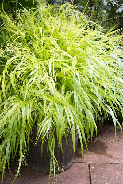 Hakonechloa macra 'All Gold' at Barn House, Gloucestershire in September