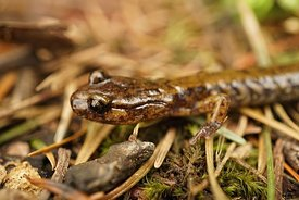 Close up on a subadult creamy brown Plethodon dunni , Dunn's salamander , posed on the ground in Columbia river gorge, Oregon