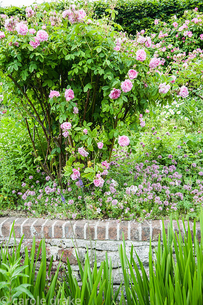 Old fashioned pink roses hang over the River Bride as it runs through the garden, underplanted with pink Phuopsis stylosa. Li...