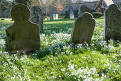 Naturalized snowdrops, Galanthus nivalis, in the churchyard of St Gregory's church at Welford Park, Welford, Newbury, Berkshi...