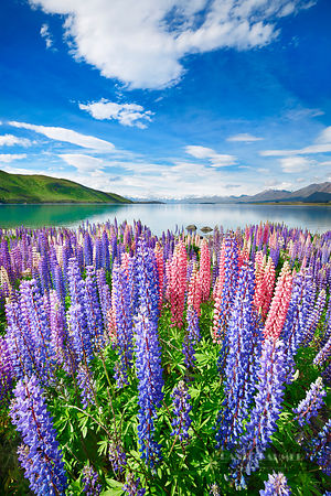 Lupine meadow at Lake Tekapo - Oceania, New Zealand, South Island, Canterbury, Mackenzie, Lake Tekapo, Lake Tekapo (Polynesia...