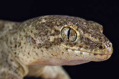 Canterbury gecko (Woodworthia brunneus) small