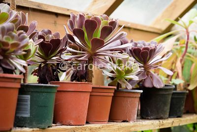 Young Aeonium 'Voodoo' propagated on site in the greenhouse at Oak Barn, Newark, Notts in September