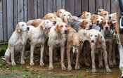 Cottesmore hounds at the meet. The Cottesmore Hunt at Brooke 12/11