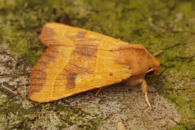 Closeup of the yellow owlet moth Centre-barred Sallow , Atethmia centrago posed on wood