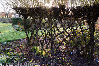 Woven willow hedge with morning sun at Higher Cherubeer, Devon