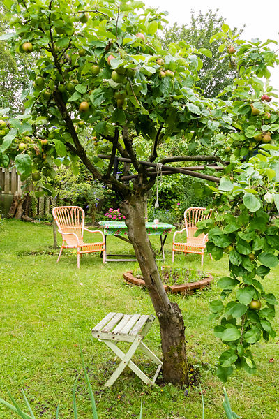 Apple tree full of riping fruit with view on seats near the firepit