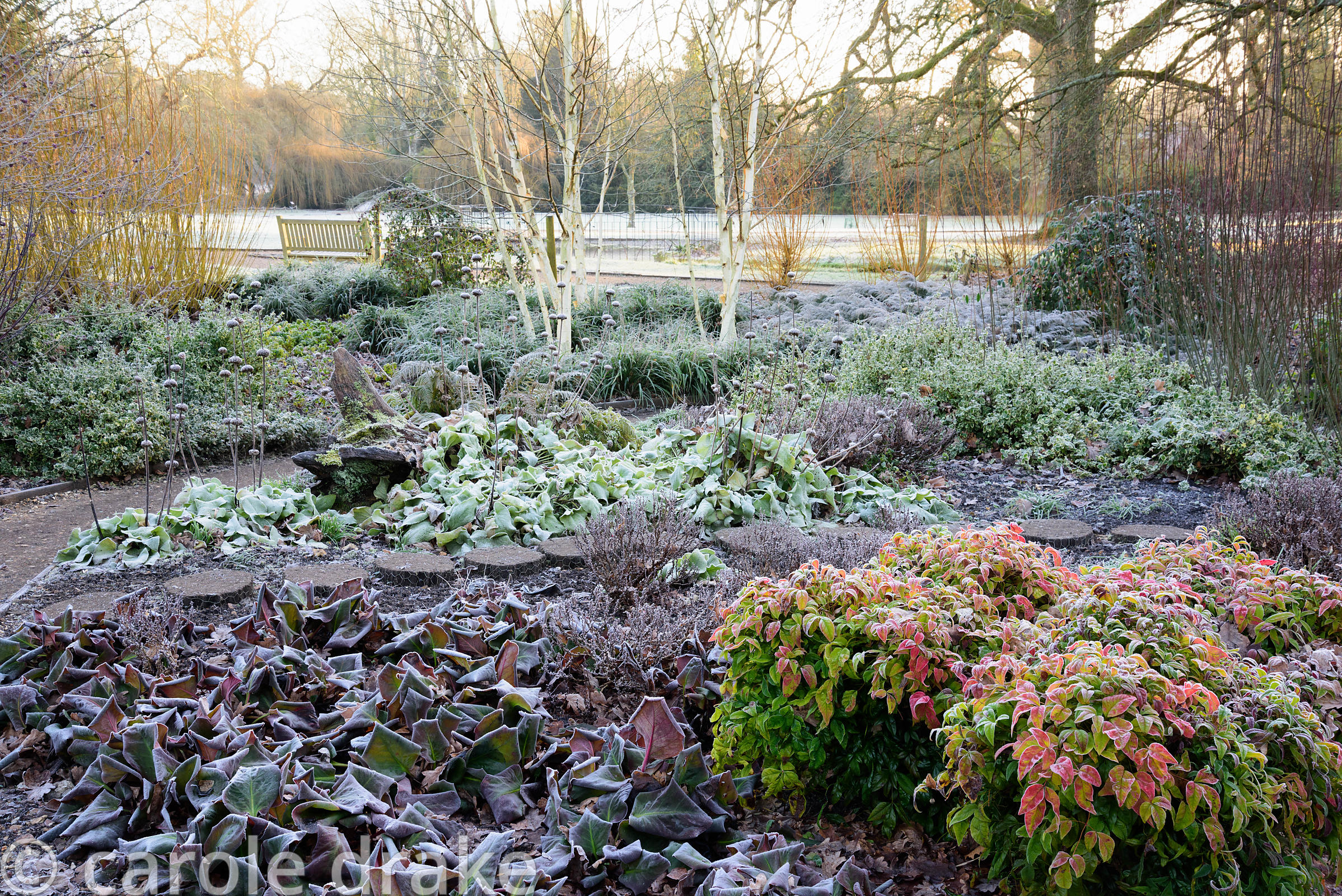 Frosted planting including nandina, bergenia and Phlomis russeliana with willows and multi-stemmed birch behind in the Winter...