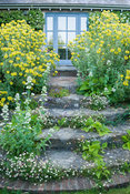 Steps framed by Phlomis fruticosa and seeded with masses of wall daisy, Erigeron karvinskianus, and Centranthus ruber albus. ...