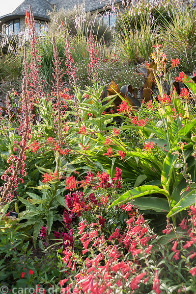 Hot border below the house bursting with colour, includes crocosmias, Lobelia tupa, penstemons, antirrhinums and red hot poke...