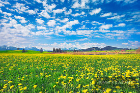 Alpine upland with dandelions - Europe, Germany, Bavaria, Swabia, Forggensee, Roßhaupten, Huttlerweiher (Allgäu) - digital