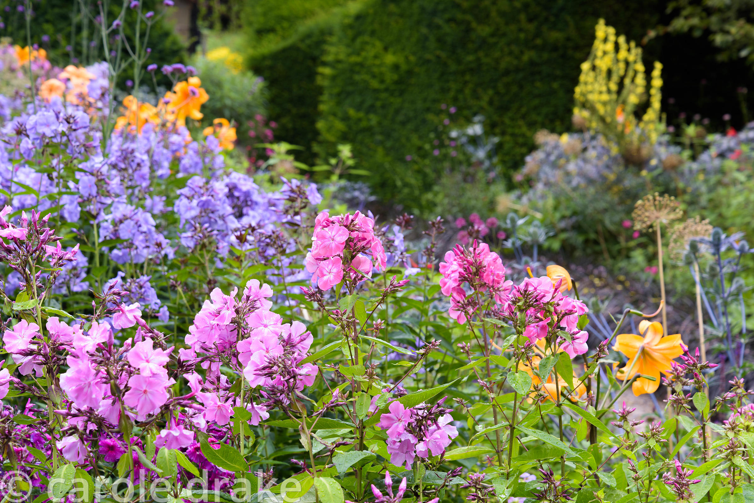 Pink and violet phlox with orange lilies and Verbena bonariensis in the Canal Garden at York Gate Garden, Adel in July