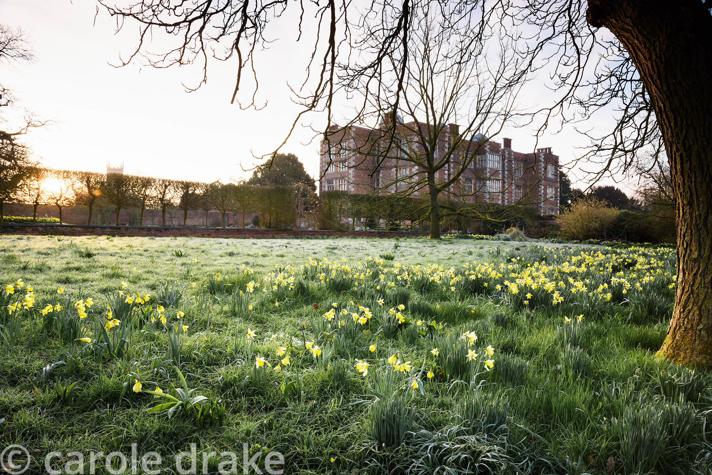 Naturalised daffodils in the Wild Garden at Doddington Hall, Lincolnshire in March