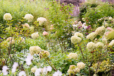 Hydrangea paniculata 'Limelight' in a border in the walled garden at Broadwoodside, Gifford, East Lothian in September
