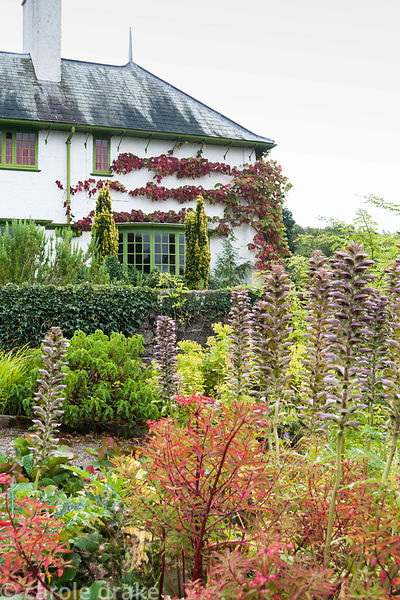 Colourful autumn border with euphorbia and acanthus  with Vitis cognetiae trained around the corner of the house beyond. Perr...
