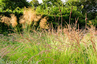 The big grass bed planted with Stipa gigantea and Calamagrostis x acutiflora 'Karl Foerster' at the Yeo Valley Organic Garden...