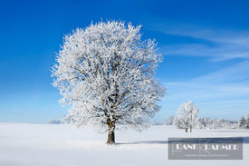 Oak with hoar frost in winter (lat. quercus) - Europe, Germany, Bavaria, Upper Bavaria, Bad Tölz-Wolfratshausen, Egling, Erge...