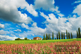 Tuscany landscape with cypress alley and sainfoins - Europe, Italy, Tuscany, Siena, Val d'Orcia, San Quirico d'Orcia, south o...