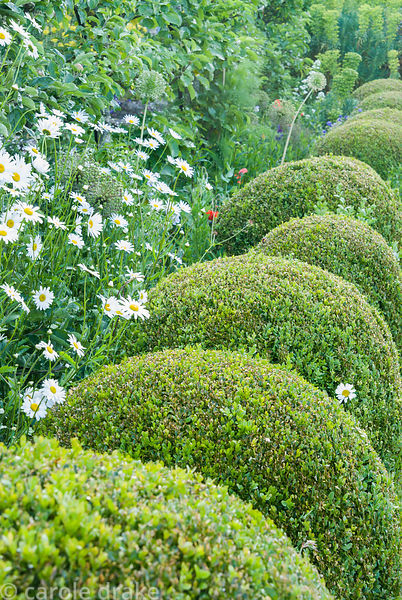 Lumpy spheres of clipped box softened with ox-eye daisies run along the outside of the apple tunnel. Private garden, Dorset, UK