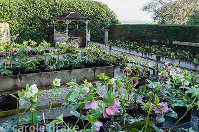 Helleborus x hybridus for sales in the nursery area. Bosvigo, Truro, Cornwall, UK