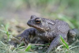 Close up of a male European common toad , Bufo bufo in the garden