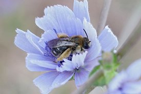 A female longhorn bee, Eucera,  waiting for the sun in a soft blue Common or wild chicory ( Cichorium intybus ) in the Gard F...
