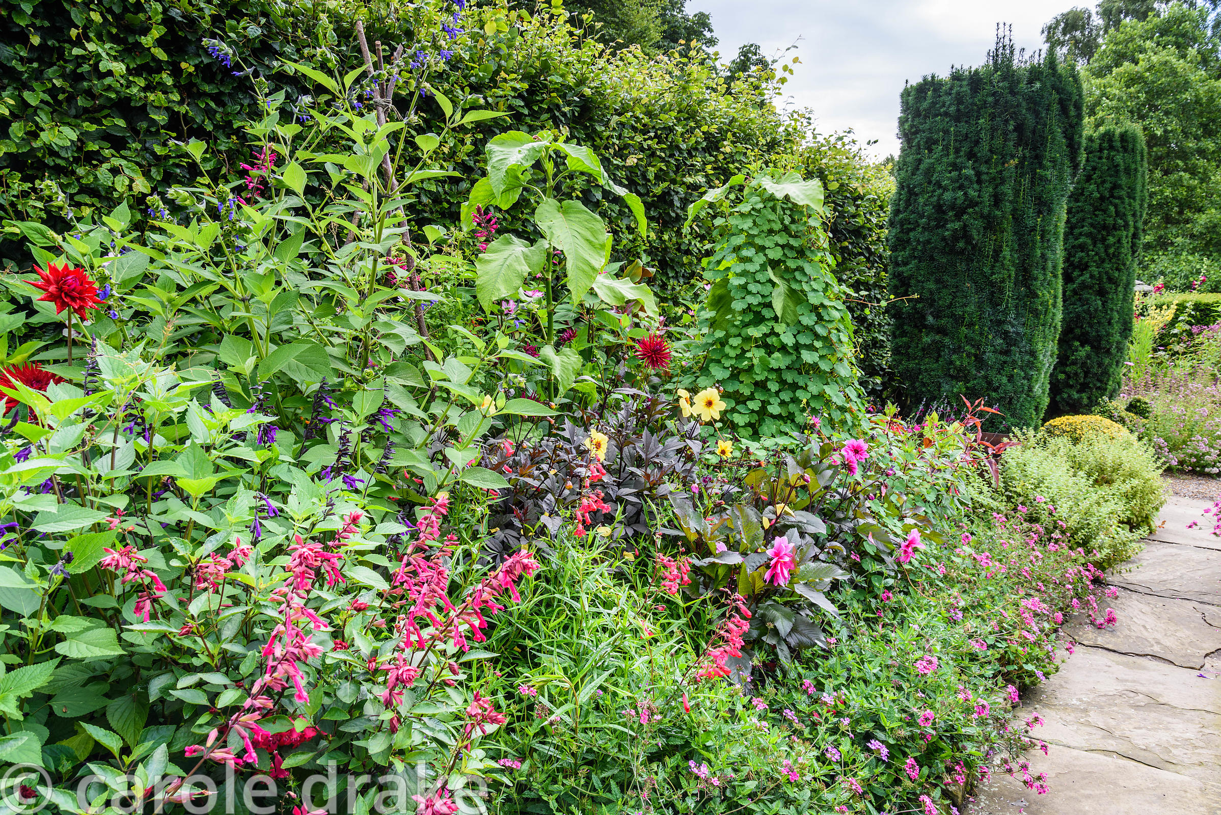 Ornamental border in the kitchen garden planted with hot colours including dahlias, salvias, climbing Tropaeolum peregrinum a...