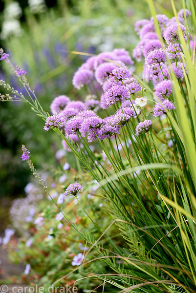 Allium 'Summer Beauty'. Dove Cottage Nursery & Garden, Halifax, West Yorkshire