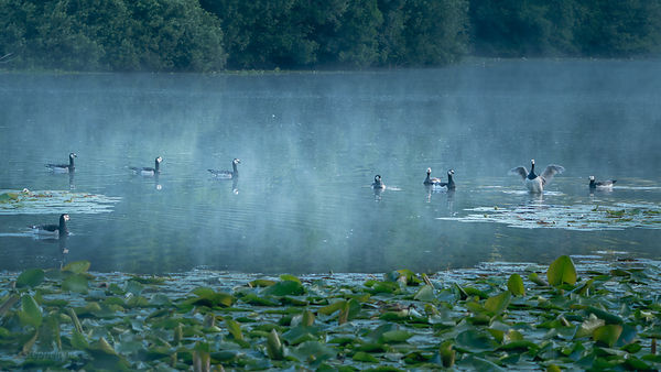 Morning scene with barnacle geese on a hazy lake.